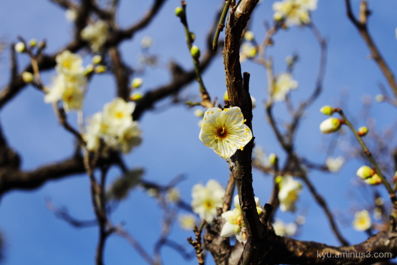 Japanese-plum blooming Chishakuin temple Kyoto