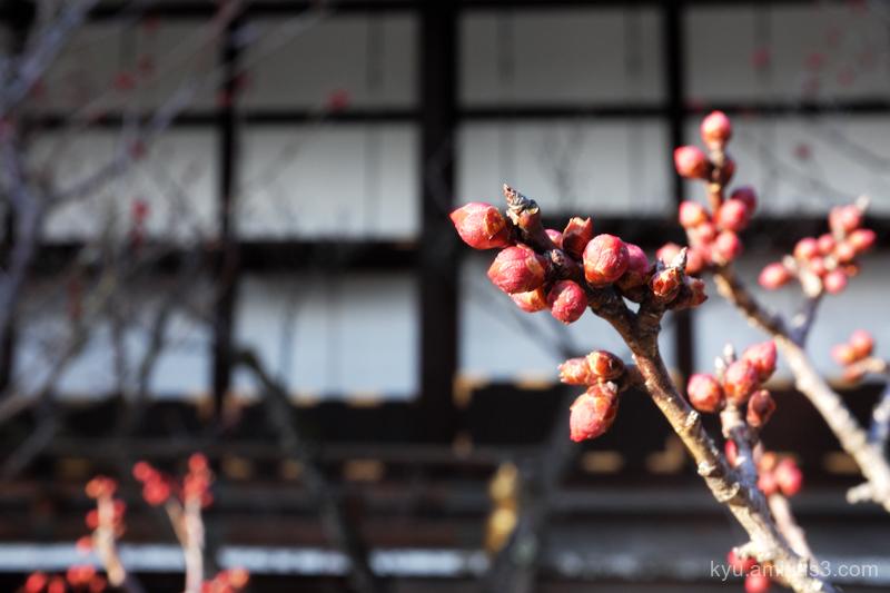 Japanese-plum bud Gosho Imperial-palace Kyoto