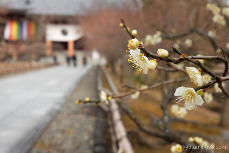 Spring japanese-plum blooming chishakuin temple ky