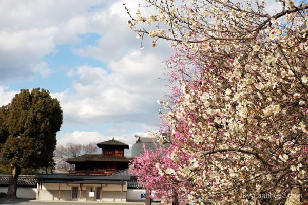 Spring Japanese-plum blooming Koshoji temple Kyoto