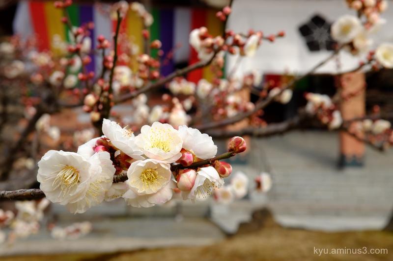spring japanese-plum chishakuin temple kyoto