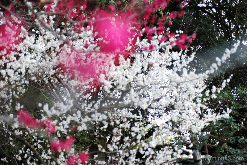 Spring japanese-plum blooming Gosho kyoto