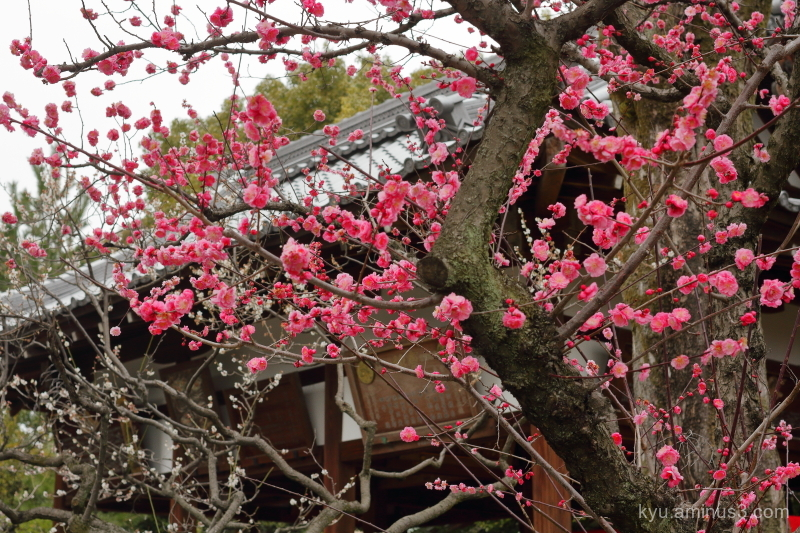 Japanese-plum blooming Jyonangu shrine Kyoto