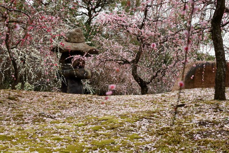 Japanese-plum blooming Jyonangu shring Kyoto