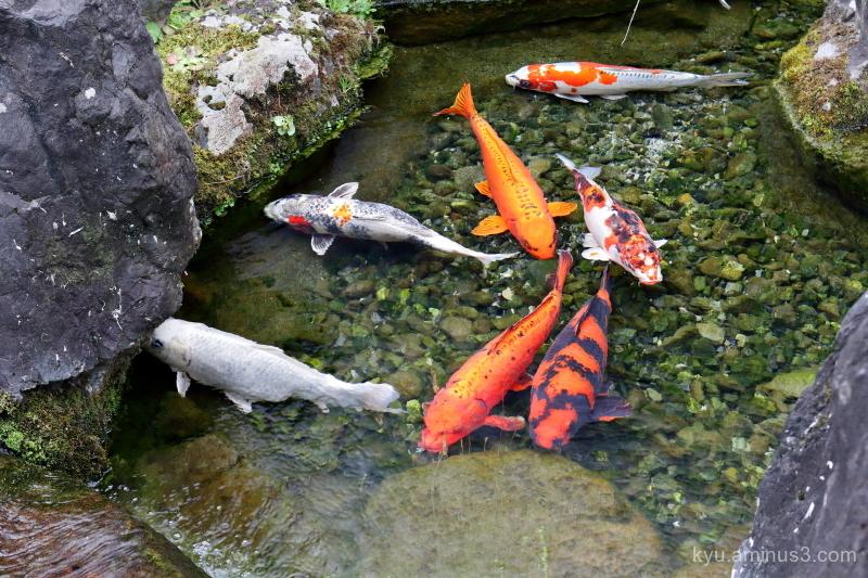 carp garden Jyonangu Shrine Kyoto