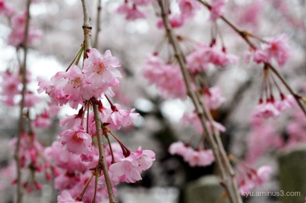 cherry-blossom bloomig Myokenji temple Kyoto