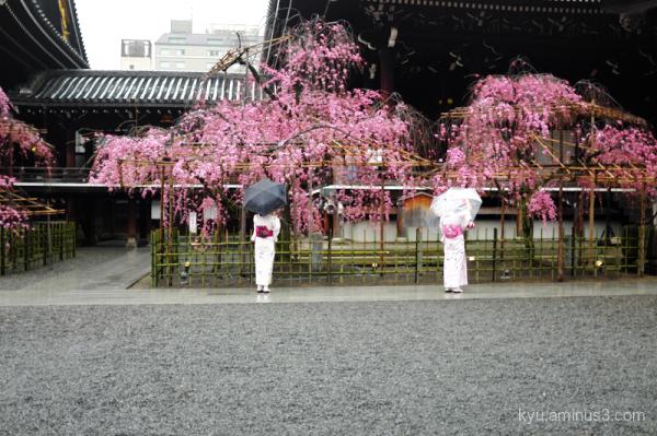 rain cherry-blossom blooming Bukkoji temple Kyoto