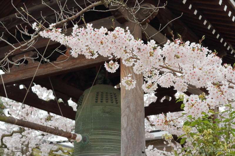 cherry-blossom blooming Myokenji temple Kyoto