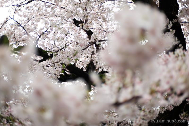 cherry-blossom blooming bukkoji temple kyoto