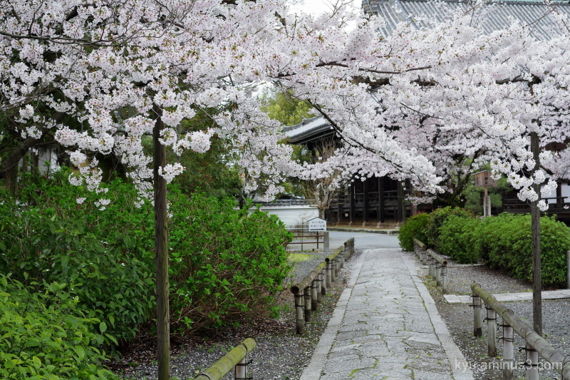 cherry-blossom blooming Honpoji temple Kyoto