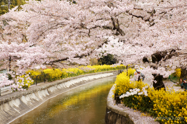 cherry-blossoms field-mustard-blossoms sosui Kyoto
