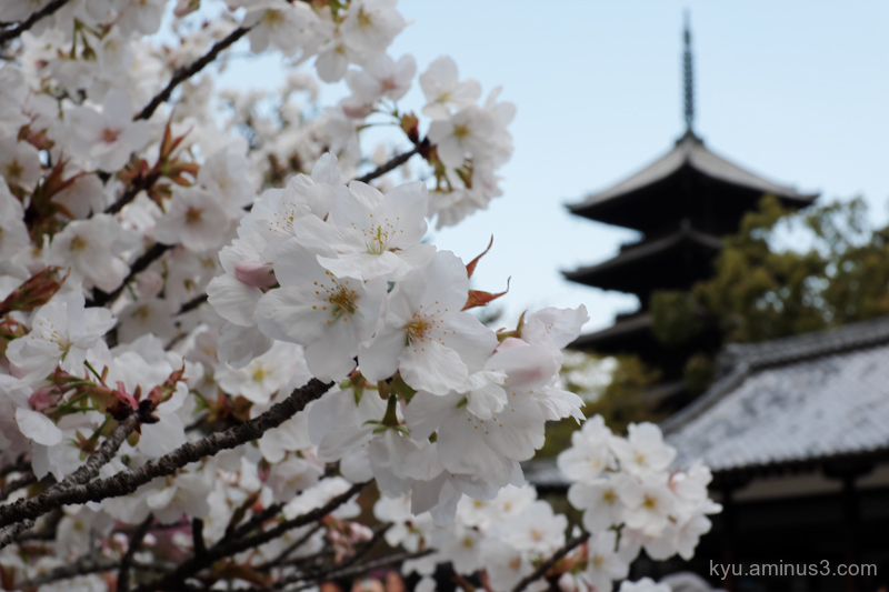 cherry-blossoms pagoda Ninnaji temple Kyoto