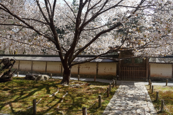cherry-blossoms Joshokoji temple Kyoto