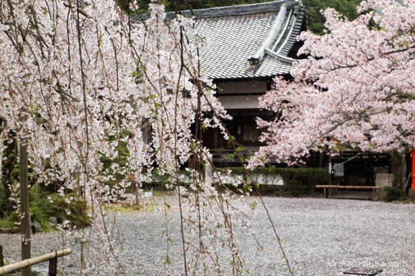 weeping-cherry-blossoms Bishamondo temple Kyoto