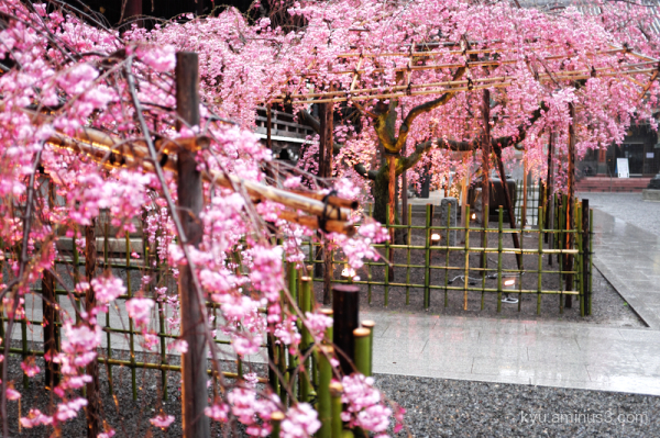 weeping-cherry-blossoms Bukkoji temple Kyoto