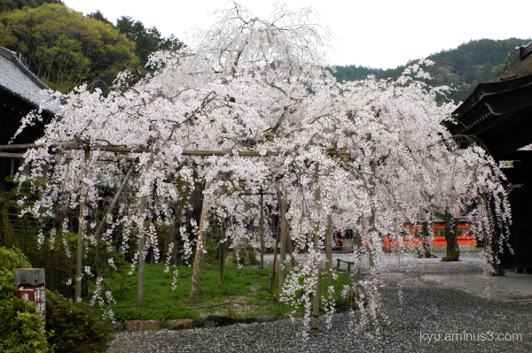 drooping-cherry blossoms Bishamondo temple Kyoto