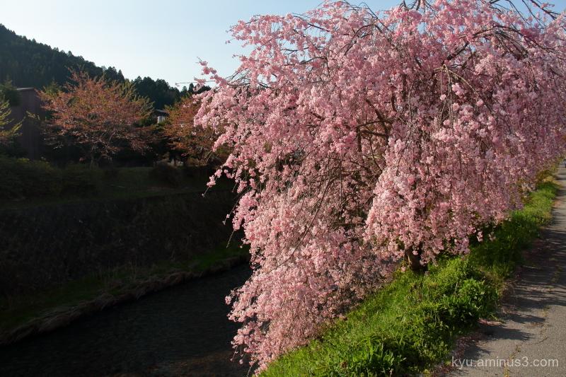 cherry-blossoms Keihoku Kyoto