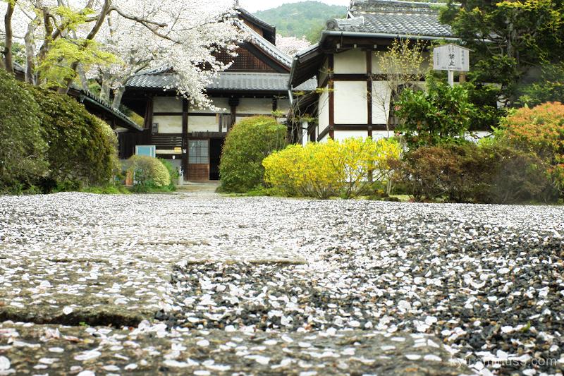 cherry petals approach Bishamondo temple Kyoto