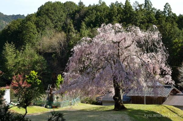 drooping-cherry blossoms Joshokoji temple Kyoto