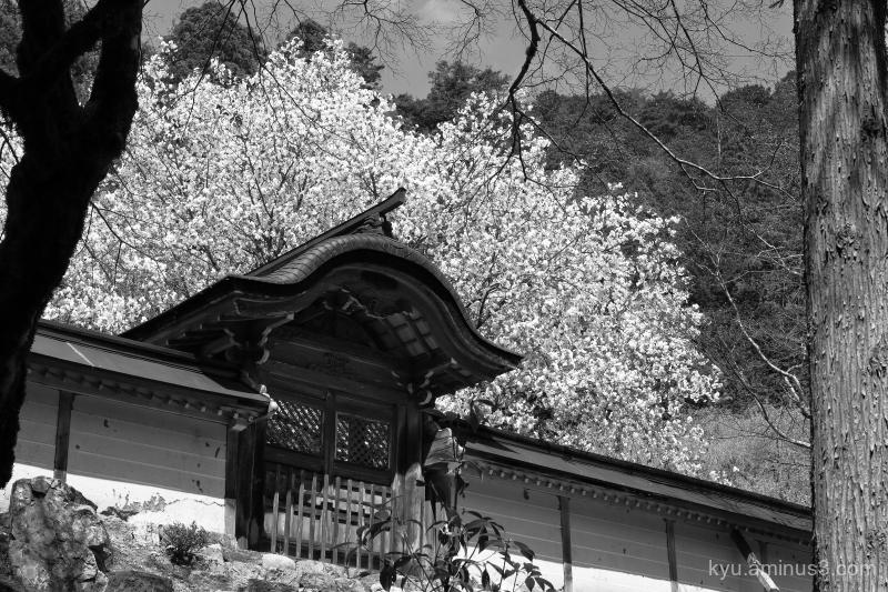 cherry-blossoms Joshokoji temple Kyoto mono
