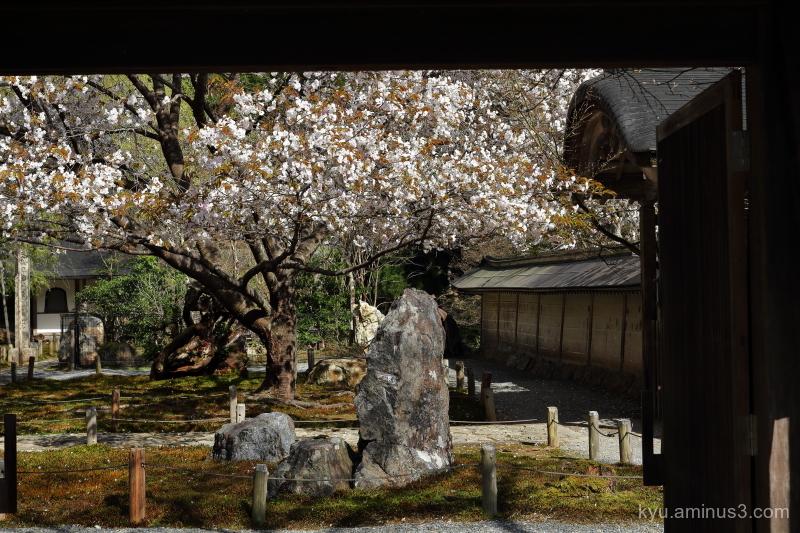 cherry-blossoms gate Joshokoji temple Kyoto 7D
