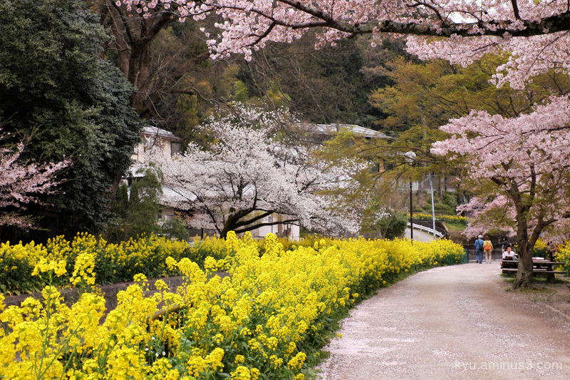 spring cherry-blossom yellow-flower sosui canal Ky