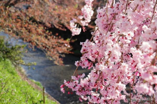 spring drooping-cherry Keihoku Kyoto
