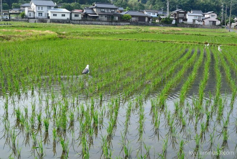 rice-paddy June Kyoto