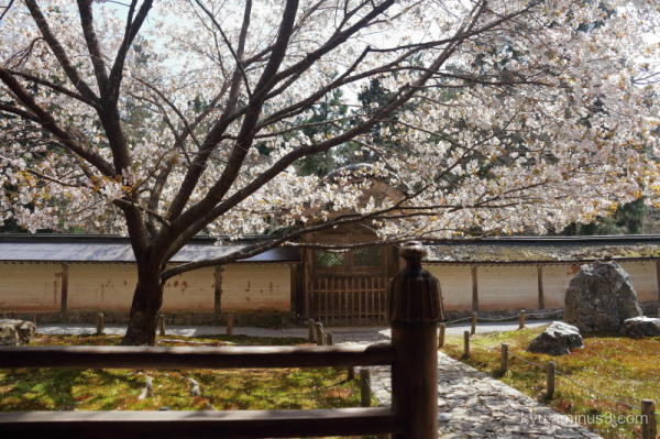 cherry-blossoms Joshokoji temple Kyoto
