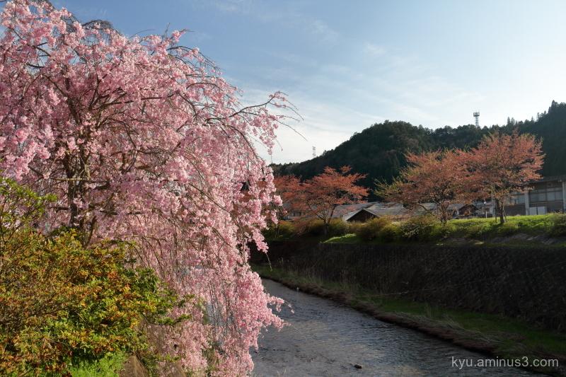 drooping-cherry blossoms Keihoku Kyoto