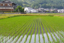 rice-paddy June Kyoto