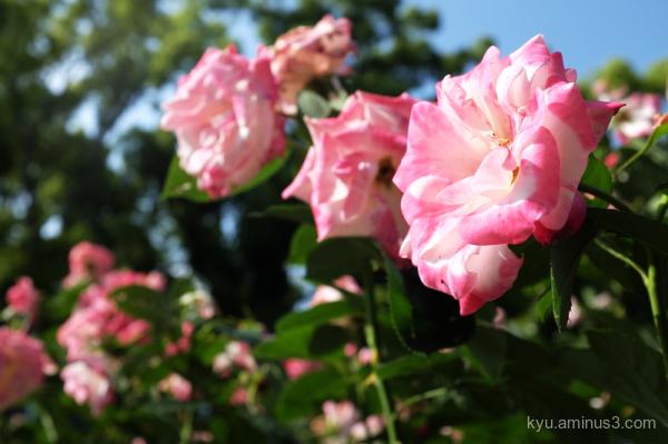 rose flowers botanical-garden Kyoto