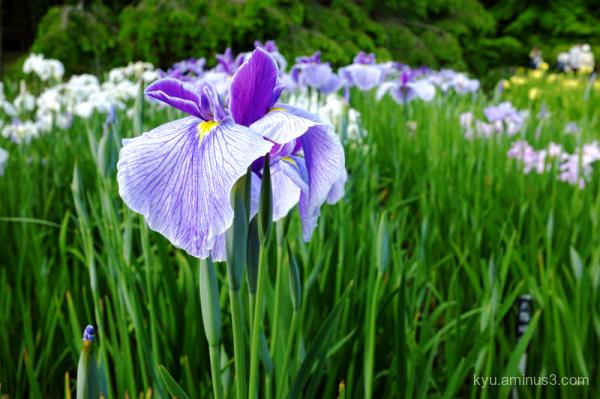 iris botanical-garden Kyoto