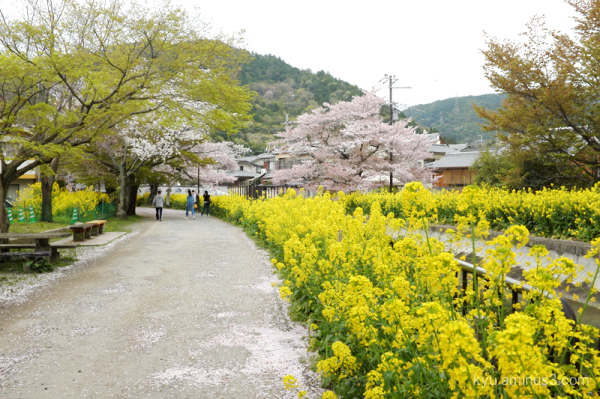 cherry-blossoms field-mustard-blossoms canal sosui