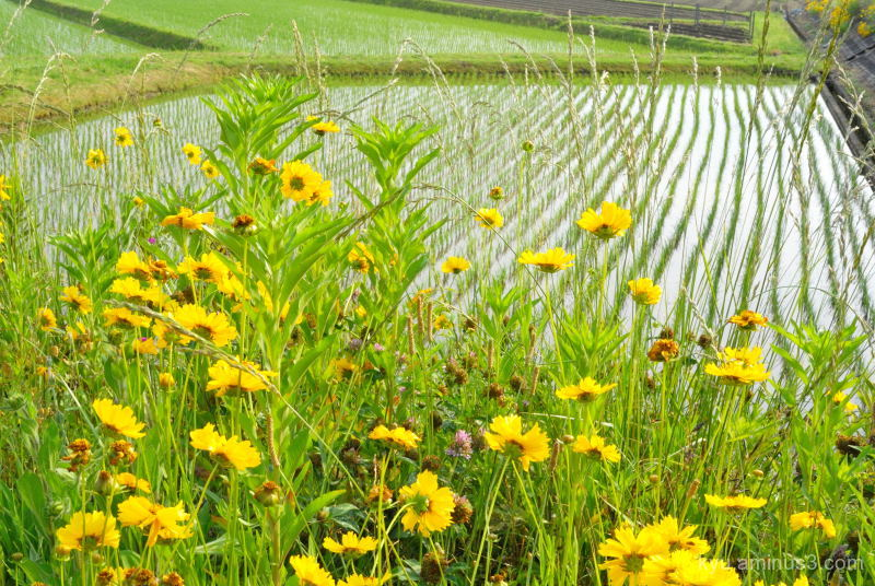 yellow-flowers rice-paddy Kyoto