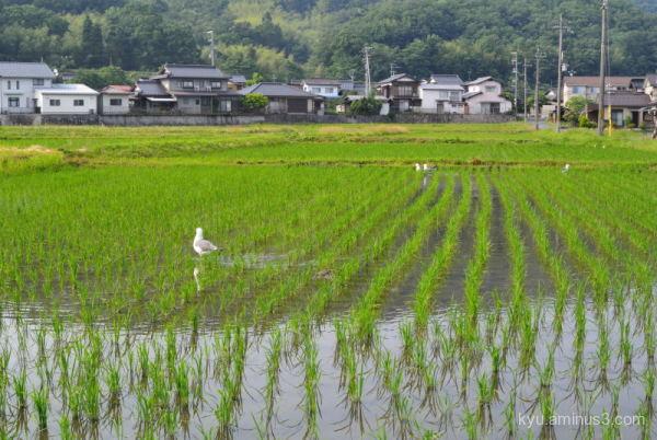 rice-paddy Kyoto