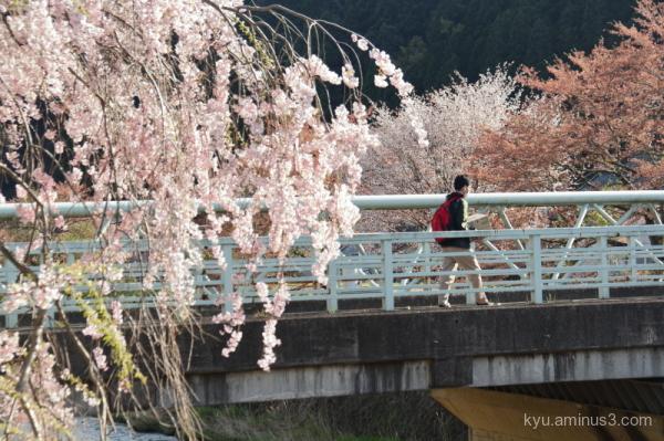 cherry-blossoms bridge Keihoku