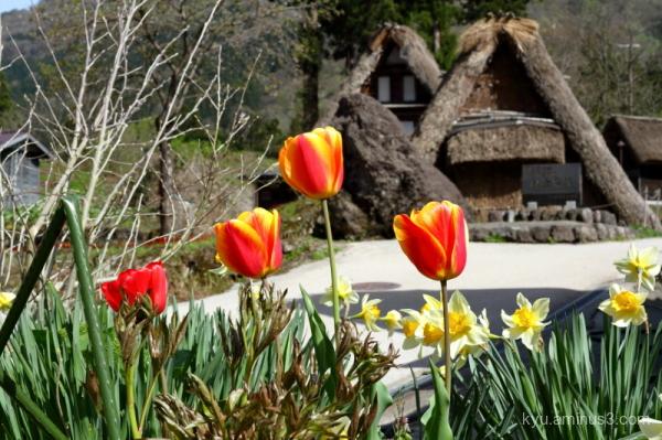 thatched-roof houses tulip Gokayama Toyama