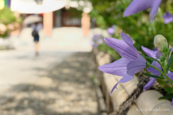 Japanese-bellflowers temple Chishakuin Kyoto