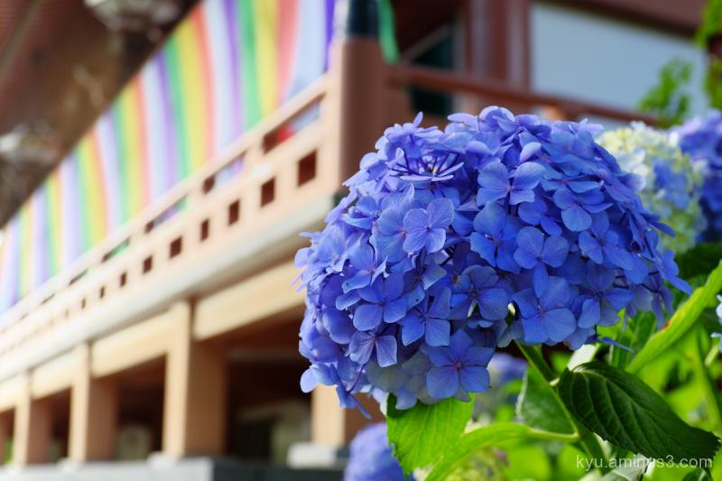 hydrangea flower temple Chishakuin Kyoto