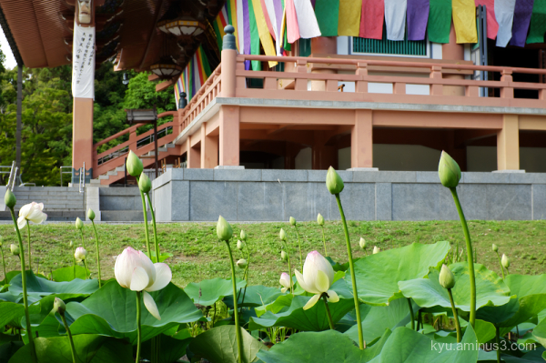 lotus flowers temple Chishakuin Kyoto