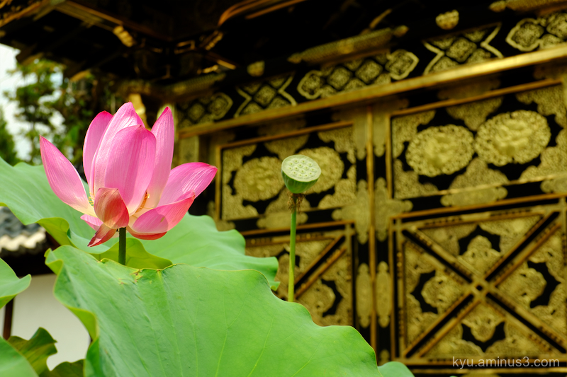 lotus flower gate Kenchoji temple Kamakura