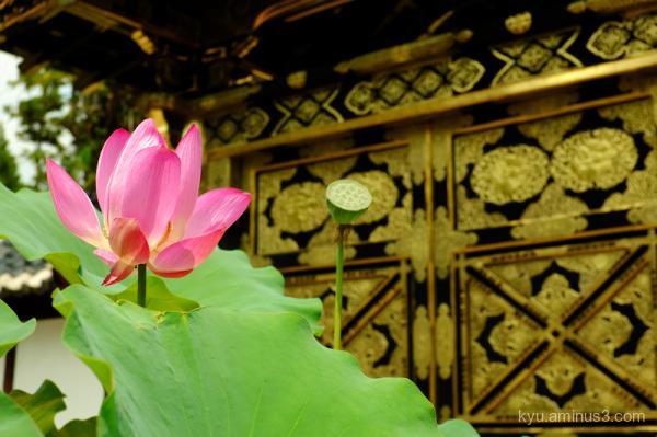 lotus flower gate Kenchoji temple Kamakura