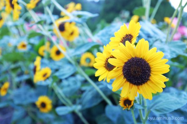 late-summer sunflower botanical-garden Kyoto