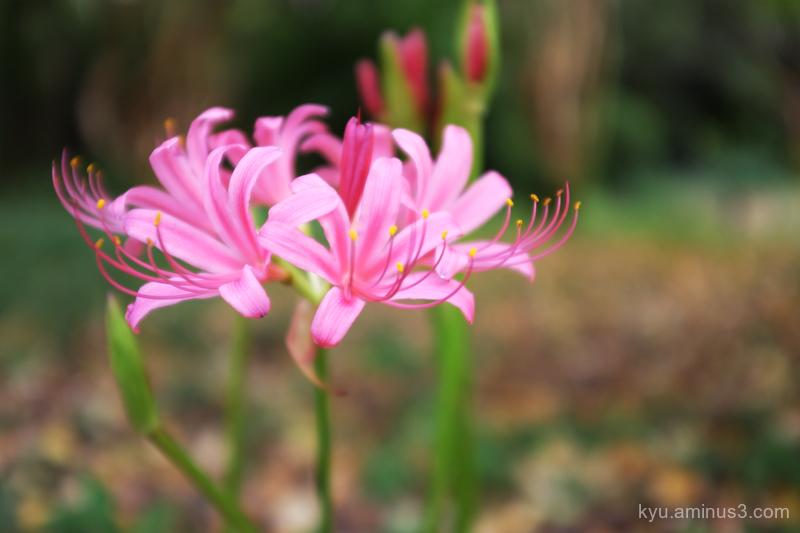 spider-lily pink botanical-garden Kyoto