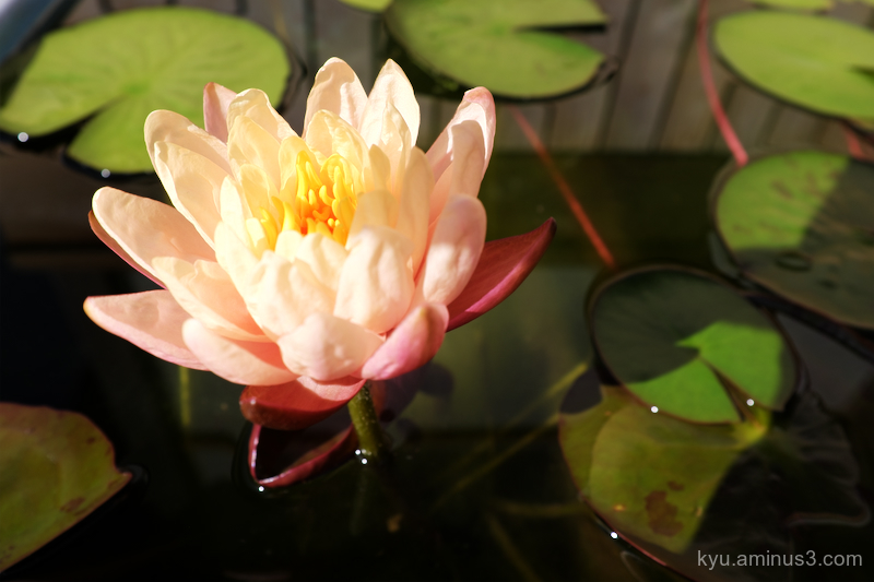 water-lily Chioin temple Kyoto