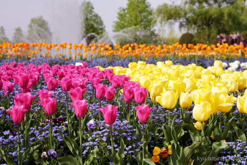 tulips garden Tonami Toyama