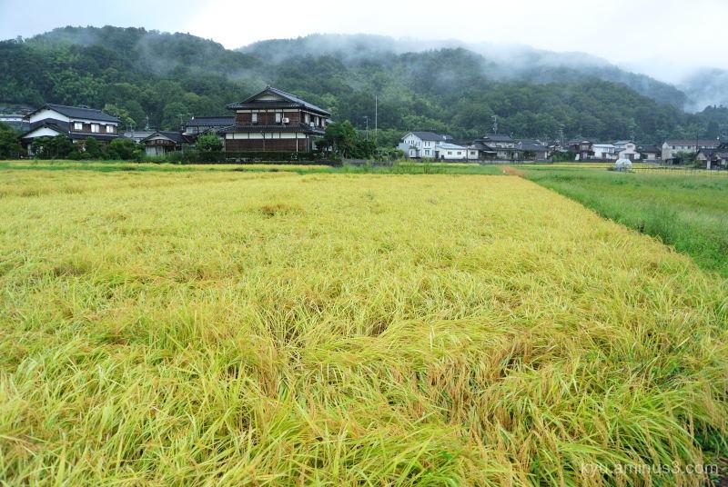 harvest-season rice-paddy Kyoto