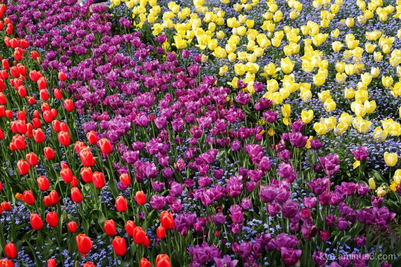 three-color-flag tulip tonami Toyama