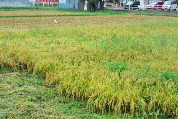 heron rice-paddy Kyoto